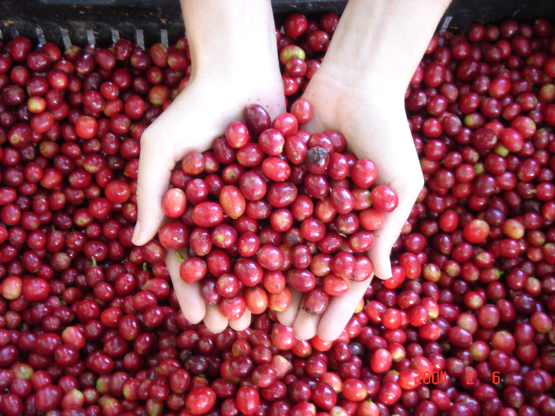 Coffee is a berry